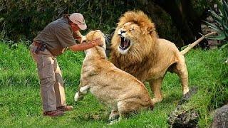 Человек играет со львами в зоопарке - Дикие животные общение с людьми