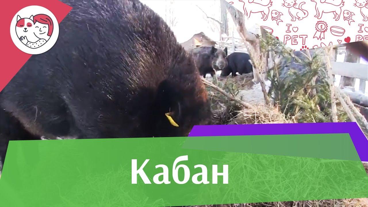 Кабан Образ жизни на ilikepet