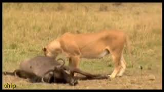 Lion eating wildebeest eggs  狮子吃牛羚蛋