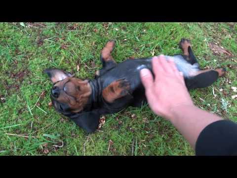 Julian y los cachorros 1 - Criadero hotdog dachshund teckel