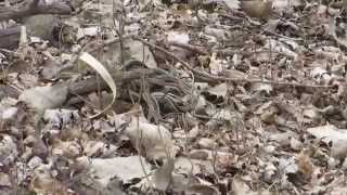 Common Garter Snake mating ball part 1