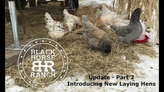 How to Introduce New Chickens - In the Winter!  Part 2