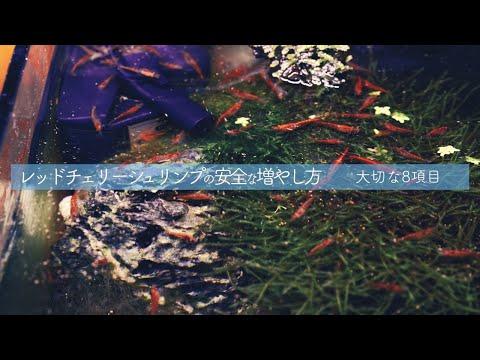 レッドチェリーシュリンプの失敗しない飼育繁殖方法 【熱帯魚】【アクアリウム】