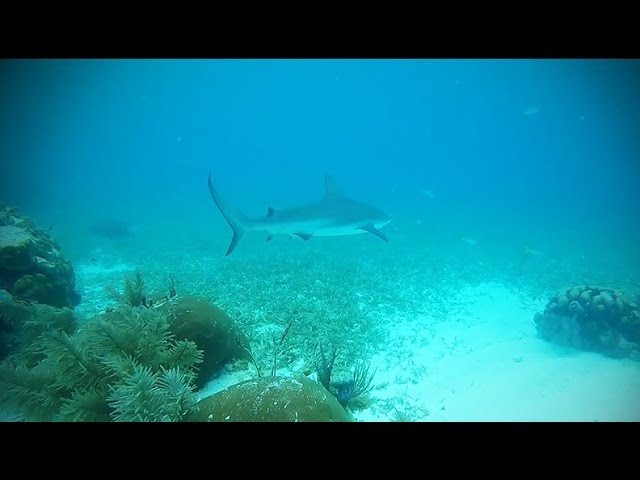 2 Sharks |  Reef snorkeling at Key Largo, Florida  | Christ of the Abyss