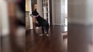 😍Excited Husky Dog Cant Stop Jumping - Awesome 🤣Funny Cute 🐶Dog Video #shorts