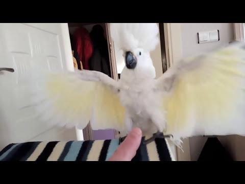 Agrasif pisikopat Kakadu papağanı paşam