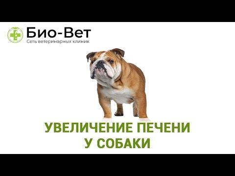 Увеличение печени у собаки. Ветеринарная клиника Био-Вет.