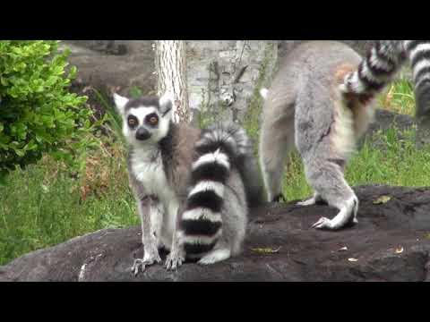 高知県立のいち動物公園 ワオキツネザル