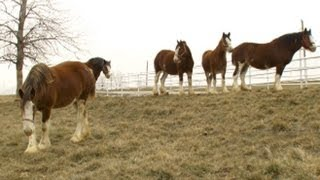 Super Bowl's Baby Clydesdale: A Budweiser Story | Nightline | ABC News