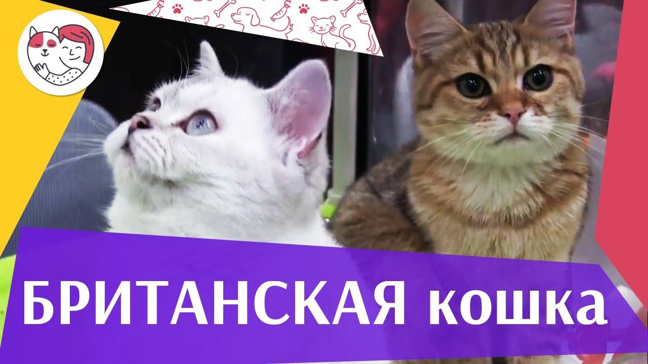 Британская кошка на  Кэтсбург 17 ilikepet