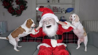 Dogs Think Santa is Intruder! Funny Dogs Maymo, Potpie, & Penny Holiday Battle w/Santa Claus by Maymo