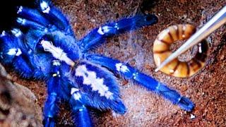 FEEDING TIME For Pet Tarantulas!! (They Go CRAZY)