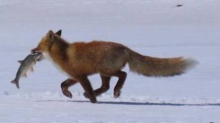 ЛИСИЦА крадет рыбу! Смотреть до конца! Много рыбы! Рыбалка на льду.