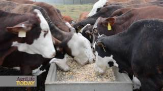 Supplemental feeding for beef cattle