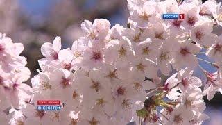 Япония, Цветение сакуры в Японии / Sakura in Japan / 桜の花