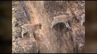 горные козлы в Саянах. Козлы прыгают по отвесным скалам.