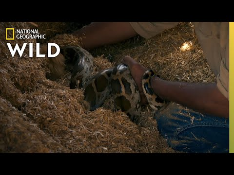 A Snake in a Hay Stack | Jungle Animal Rescue