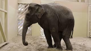 У віці 23 роки померла харківська слониха Тенді