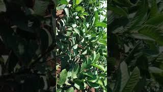 pink guava - मुफ्त ऑनलाइन वीडियो