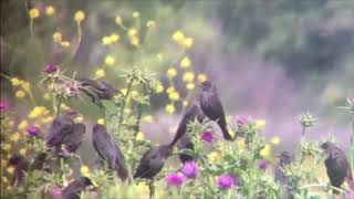 Tricolored Blackbird montage