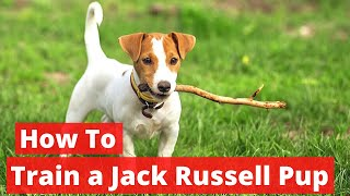 How To Train A Jack Russell Puppy? Complete Step By Step Guide