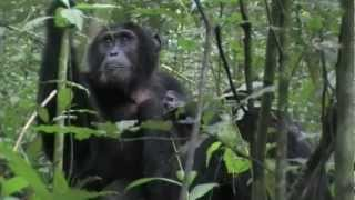 preview picture of video 'Guide to safari holidays in Uganda: Bwindi and Kibale'