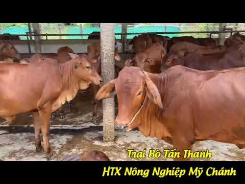 TRẠI BÒ TẤN THANH BẾN TRE - 0919 45 30 79