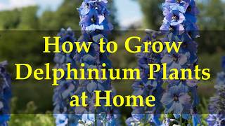 How To Grow Delphinium Plants At Home