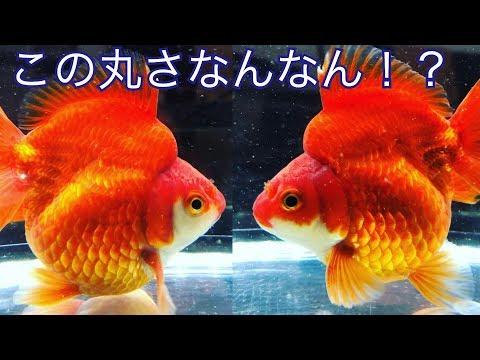 丸すぎ!笑 〜ショートテール琉金お迎え!〜