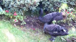 Two Swans Gardening