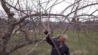 りんごの剪定(成り枝更新剪定ー剪定の説明)2018