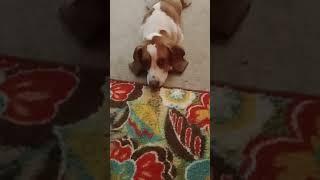 Basset Hound Puppies Videos