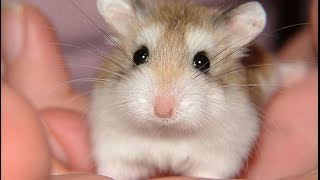 Funny Hamsters   A Cute And Funny Hamster Videos Compilation 2017