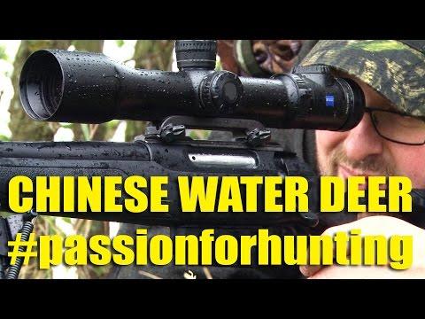 Stalking Chinese Water Deer