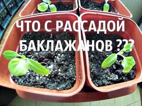 Что с рассадой баклажанов ?