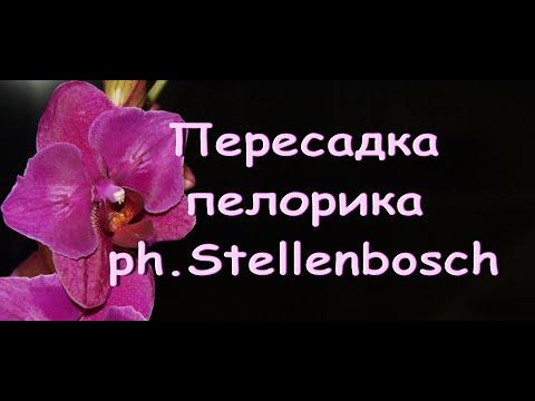 """Пересаживаю """"БАБОЧКУ"""" ph.'Stellenbosch"""".Фаленопсис """"Стелленбош"""" (пелорик)."""