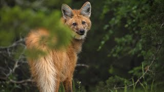 The Maned Wolf Isn't Endangered, but They Still Need Our Help.