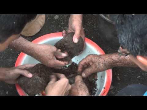 Video Budi Daya Jamur Merang - Penamburan Bibit pada Bedeng/Kombong 1/5