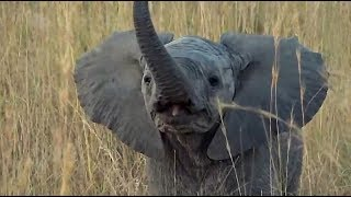 SafariLive June 16 - Very brave baby Elephants!