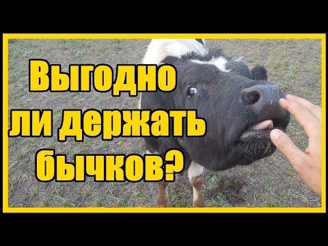 Выращивание бычков выгодно или нет