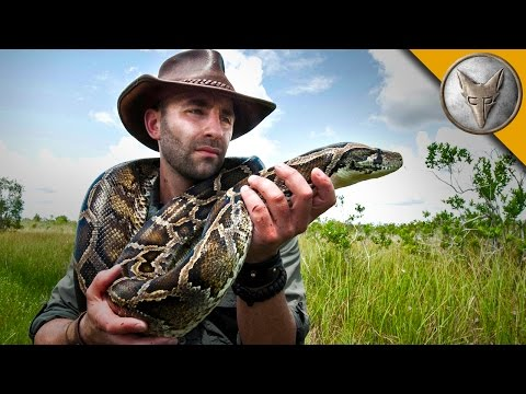Giant Snake of the Everglades - The Invasive Burmese Python