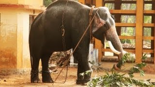 Guruvayoor Kannan - An Elephant in Kerala