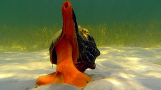 Download Youtube: Giant Horse Conch & Burglar Hermit Crabs | Blue Planet | BBC Earth