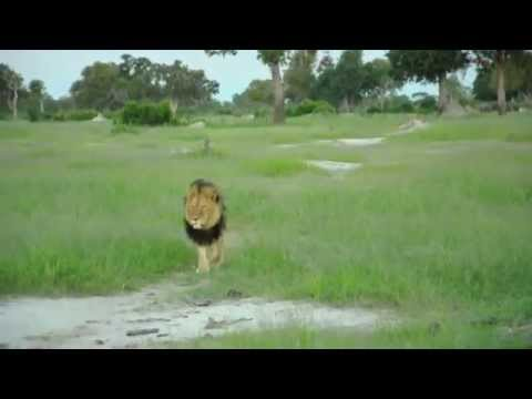 Cecil the Lion resided on the concession at Somalisa Camp, Hwange National Park. This video footage was taken in January 2015, before his tragic passing in July. May his roar live on in our memories forever and be a catalyst for positive change to assist in protecting his kind into the future. To assist in our endeavours to protect all lions in and around Hwange National Park, please kindly support the Lion Conservation & Wildlife Fund (http://www.lcwf.org/)