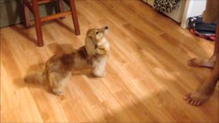 Cherry The Miniature Longhaired Dachshund Performs Tricks