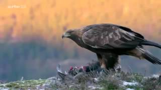 L'aigle royal documentaire