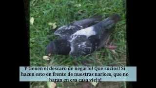 preview picture of video 'Palomas Muertas En El Parque De Guadalupe, Costa Rica.'