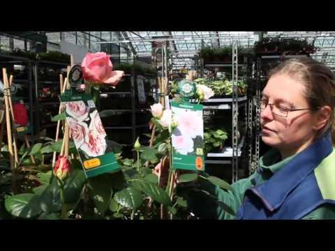 Rosen pflanzen und pflegen – Edelrose, Beetrose oder Kletterrose?