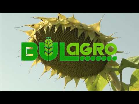 Farmers chose the sunflower hybrid JENOVA CL for the third year