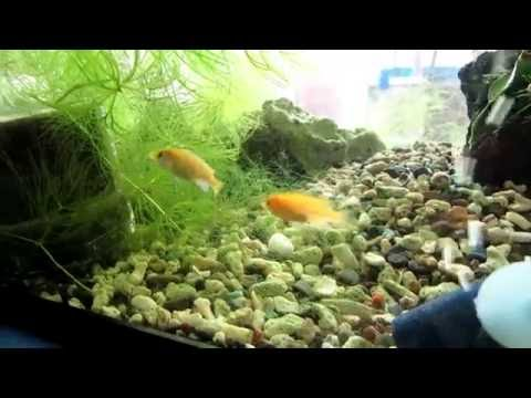 【熱帯魚】 ラビドクロミス・カエルレウスの成長記録 その 1 撮影日撮影日 平成28年7月31日